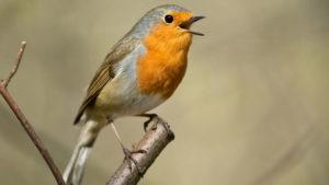 birds morning song reverent